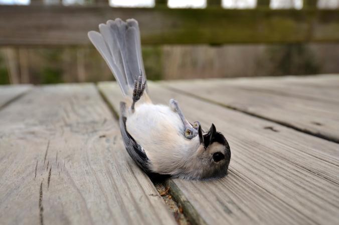 choc-oiseau-en-etat-de-choc