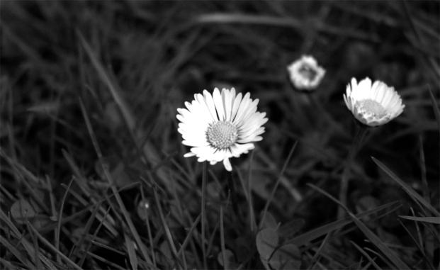 paquerettes-printemps_SD