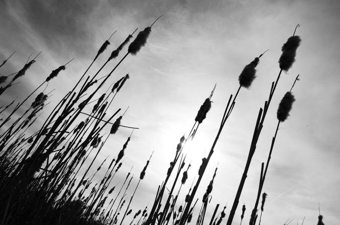 reeds-1504329_960_720