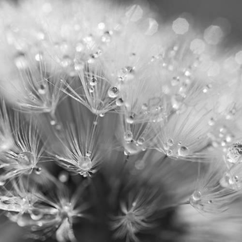 1069371-photographie-macro-nature-noir-et-blanc-de-fleur-et-rosee-s-2_medium