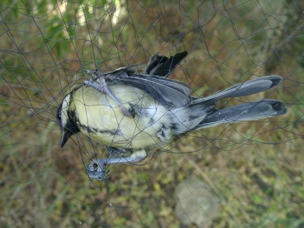 oiseau pris au piege