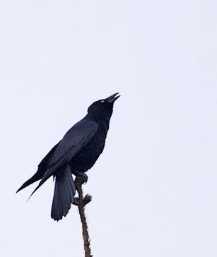 corneille-noire-jufo-4g