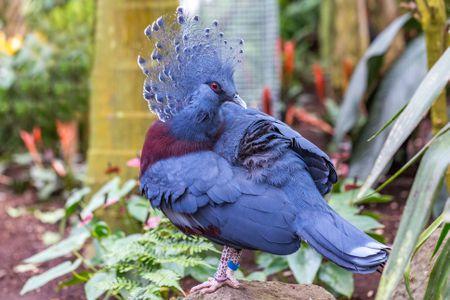 close-up-of-a-beautiful-victoria-crowned-pigeon--goura-cristata--828667640-5af673af04d1cf003666d872
