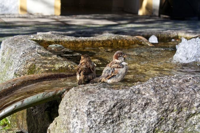 sparrows-290270_1280_5596edc321d87