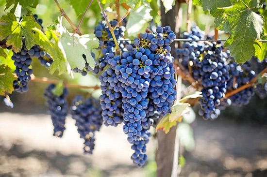 raisin-grappe-violet-vigne