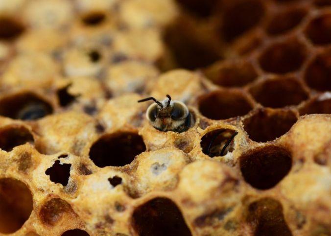 abeille-tete-ruche