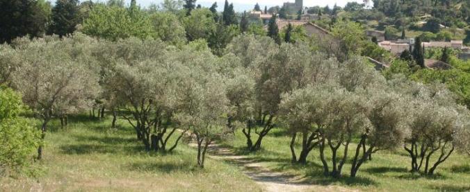 Oliviers-Villeneuve-Lez-Avignon-Maison-Bronzini