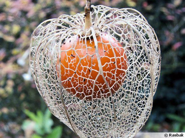 physalis-alkekengi-fruit-600x450
