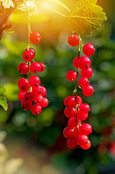 red-currant-998157__340