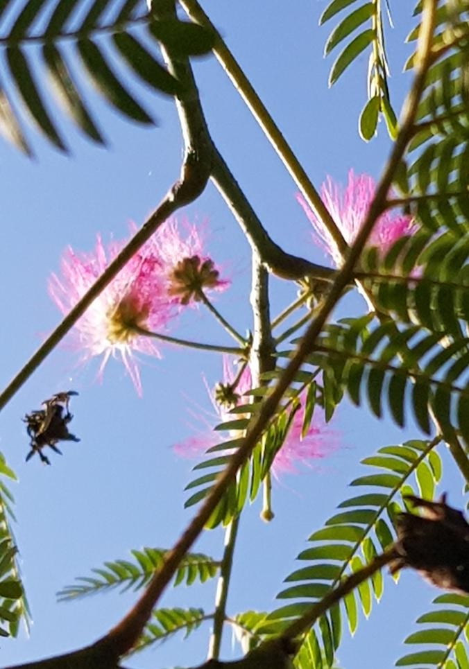 arbre à soie 28