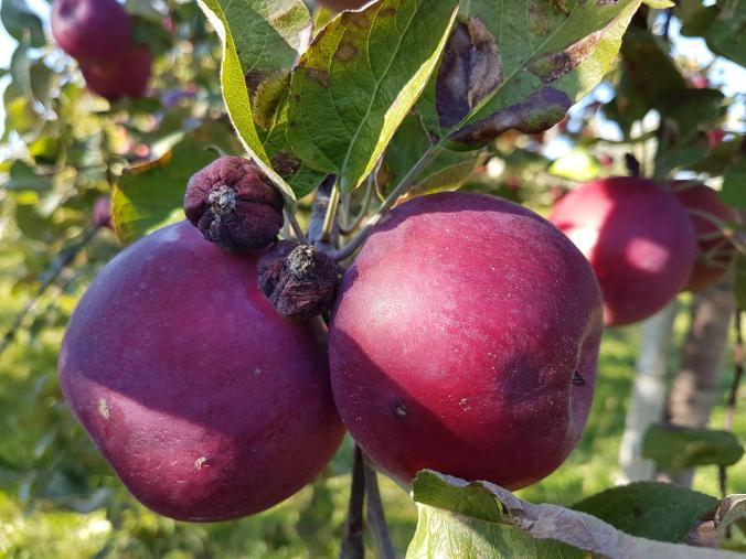 pommes-verger-fruit