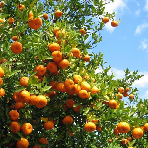 verger-oranger-main-8241013