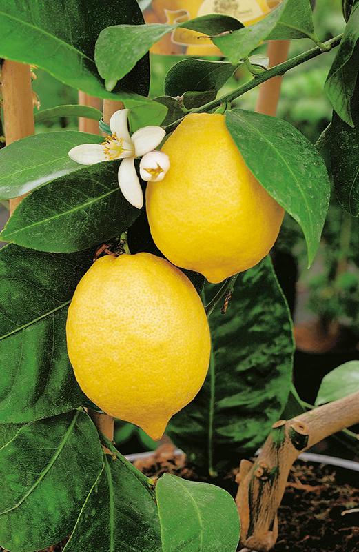 citronnier-1013437-2