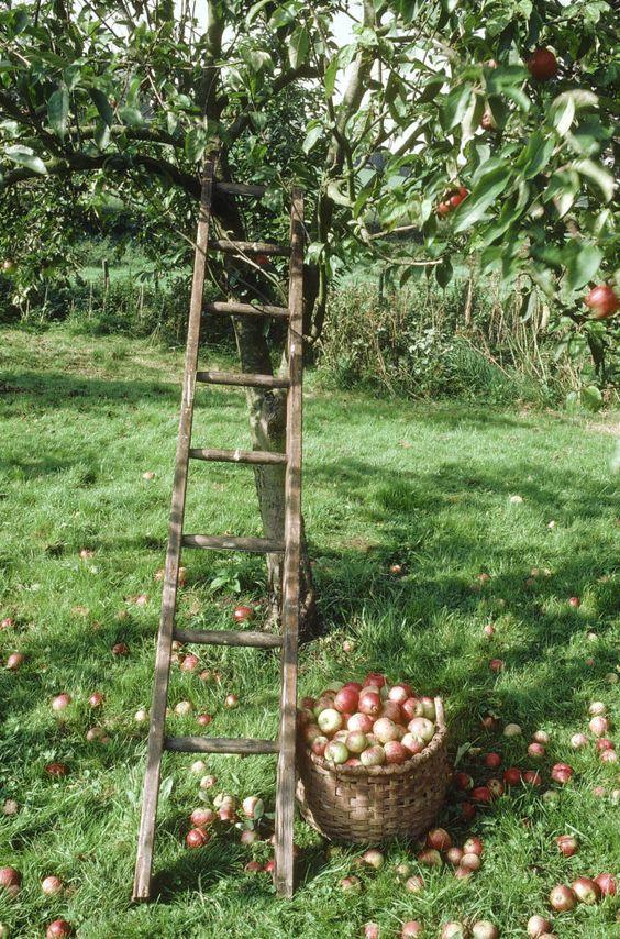 echelle pommes et pommier