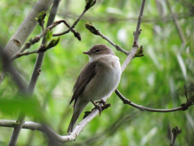 Fauvette des jardins Sylvia borin Garden Warbler